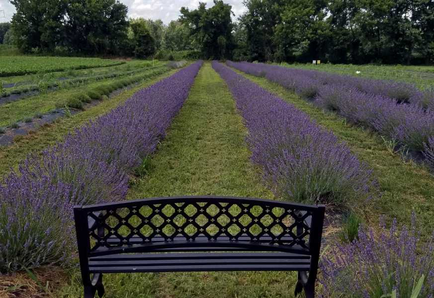 Homeopathic and Organic Lavender Fields